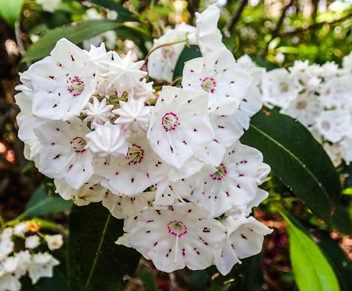 Mountain Laurel (Kalmia latifolia) blooms beside the AT.