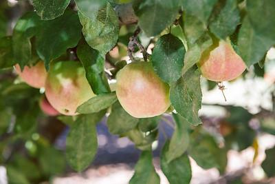 Apple Picking-Sept 2013