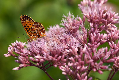 Silver-bordered Fritillary on Joe Pye Weed, Big Foot F8