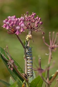Monarch caterpillar, Cosina Voigtländer SL APO-Lanthar 125mm f/2.5 (Big Foot) at F8