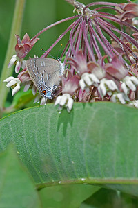 Banded Hairstreak,  Big Foot F8, T32 fill