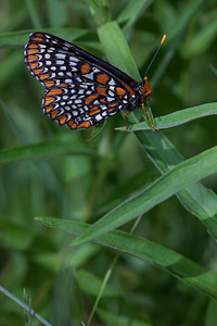 Baltimore Checkerspot,  Cosina Voigtländer Macro APO-Lanthar 125mm F2.5 SL at F11, T32 fill flash