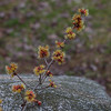native witch hazel