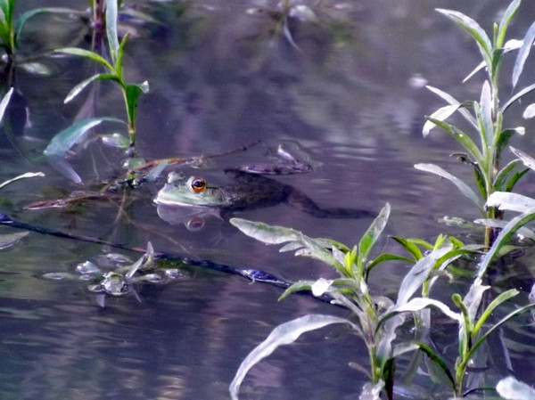 The frogs are back at my pond in Richland Township.<br /> <br /> Photographer's Name: J.R. Rosencrans<br /> Photographer's City and State: Alexandria, Ind.