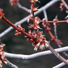 Maple trees starting to  bud at my farm in Richland Township.<br /> <br /> Photographer's Name: J.R. Rosencrans<br /> Photographer's City and State: Alexandria, Ind.