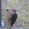 A pileated woodpecker at Mounds State Park.<br /> <br /> Photographer's Name: Pete Domery<br /> Photographer's City and State: Markleville, Ind.