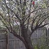 A red bird sitting in my apple tree looking pretty.<br /> <br /> Photographer's Name: Sheelah Schmidt<br /> Photographer's City and State: Anderson, Ind.