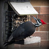 Love to see pileated woodpeckers at our feeder.<br /> <br /> Photographer's Name: Debra Howell<br /> Photographer's City and State: Pendleton, Ind.