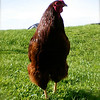 Rosco the rooster.<br /> <br /> Photographer's Name: Crystal Hunton Ostler<br /> Photographer's City and State: Anderson, Ind.