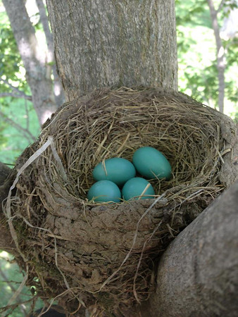 Robin eggs in my apple tree.<br /> <br /> Photographer's Name: J.R. Rosencrans<br /> Photographer's City and State: Alexandria, Ind.