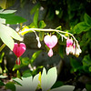 One of my garden favorites, bleeding heart.<br /> <br /> Photographer's Name: Debra Howell<br /> Photographer's City and State: Pendleton, Ind.