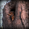 Baby squirrels hanging out in a tree.<br /> <br /> Photographer's Name: Debra Howell<br /> Photographer's City and State: Pendleton, Ind.