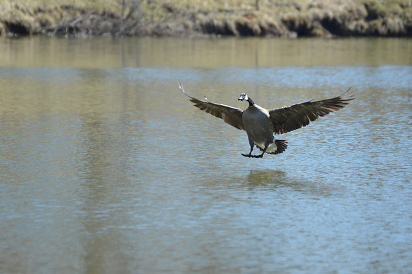 A Canada goose landing at Sumner Lake in Anderson.<br /> <br /> Photographer's Name: Evelyn Bauer<br /> Photographer's City and State: Anderson, Ind.