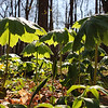 The ever-present May apple plants at Mounds State Park are coming up quickly.<br /> <br /> Photographer's Name: Jerry Byard<br /> Photographer's City and State: Anderson, Ind.