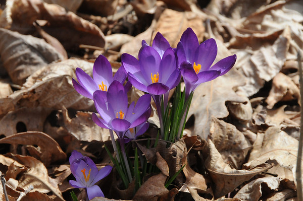 The beauty of spring crocus in our woods.<br /> <br /> Photographer's Name: Laura Jones<br /> Photographer's City and State: Alexandria, Ind.