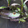 A frog ready for the April sun at my pond in Richland Township.<br /> <br /> Photographer's Name: J.R. Rosencrans<br /> Photographer's City and State: Alexandria, Ind.