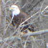 An eagle spotted southwest of Frankton on Pipe Creek.<br /> <br /> Photographer's Name: Karen McCord<br /> Photographer's City and State: Frankton, Ind.
