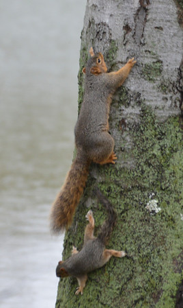 A mother squirrel and her baby.<br /> <br /> Photographer's Name: Evelyn Bauer<br /> Photographer's City and State: Anderson, Ind.