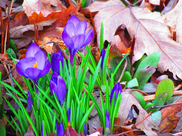 Spring flowers finally show up.<br /> <br /> Photographer's Name:  <br /> Photographers City and Country: ,