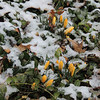 Flowers peeking through a recent snowfall.<br /> <br /> Photographer's Name: Laura Smith<br /> Photographer's City and State: Anderson, Ind.