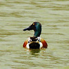 The farm pond is getting some great visits form migrating waterfowl. This is a Northern Shoveler.<br /> <br /> Photographer's Name: Sharon Markle<br /> Photographer's City and State: Markleville, Ind.