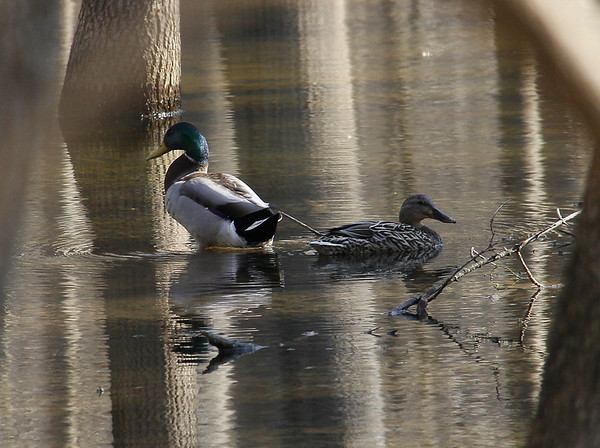 Two Mallard ducks were browsing the ecological fen at Mounds State Park on April Fool's Day.<br /> <br /> Photographer's Name: Jerry Byard<br /> Photographer's City and State: Anderson, Ind.