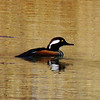 Another visitor to the farm pond, a Hooded Merganser.<br /> <br /> Photographer's Name: Sharon Markle<br /> Photographer's City and State: Markleville, Ind.