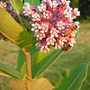 Honey bees visiting milkweed<br /> <br /> Photographer's Name: Crystal Hunton Ostler<br /> Photographer's City and State: Anderson, Ind.