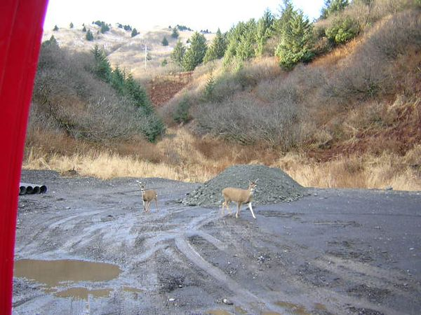 Sitka Black-Tailed Deer (on Kodiak Island at job site during my first vist to Alaska in November '04; taken with Melanie's camera)