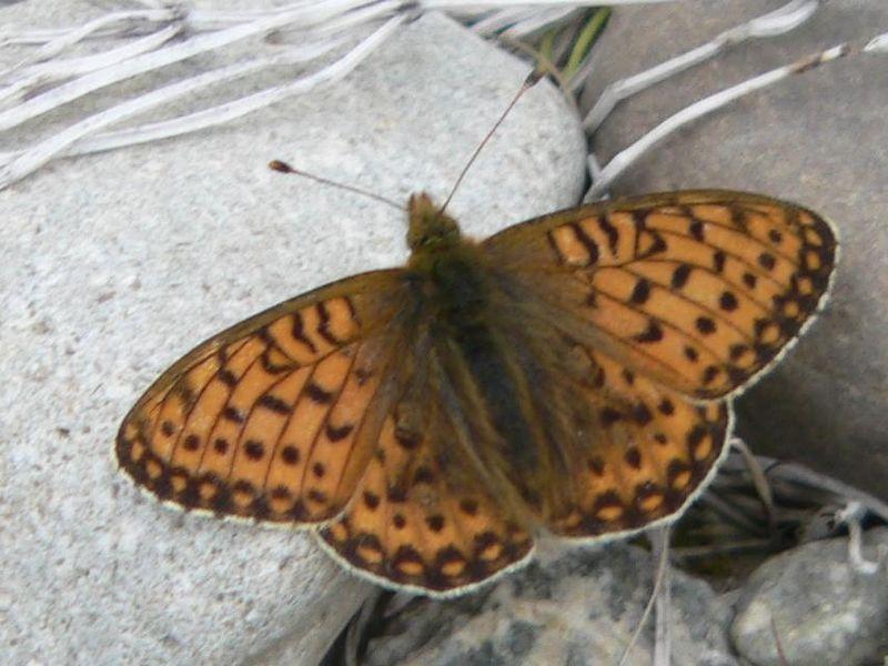 Mormon Frittillary Butterfly