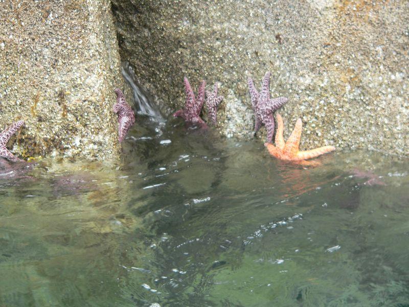 Pisaster Starfish