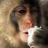 Thirsty<br /> Snow Monkey -- Asahiyama Zoo