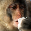 Thirsty<br /> Snow Monkey -- Asahiyama Zoo