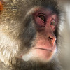 Reflections of a Snow Monkey