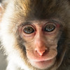 Captive<br /> Snow Monkey -- Asahiyama Zoo