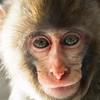 Captive<br /> Snow Monkey -- Asahiyama Zoo