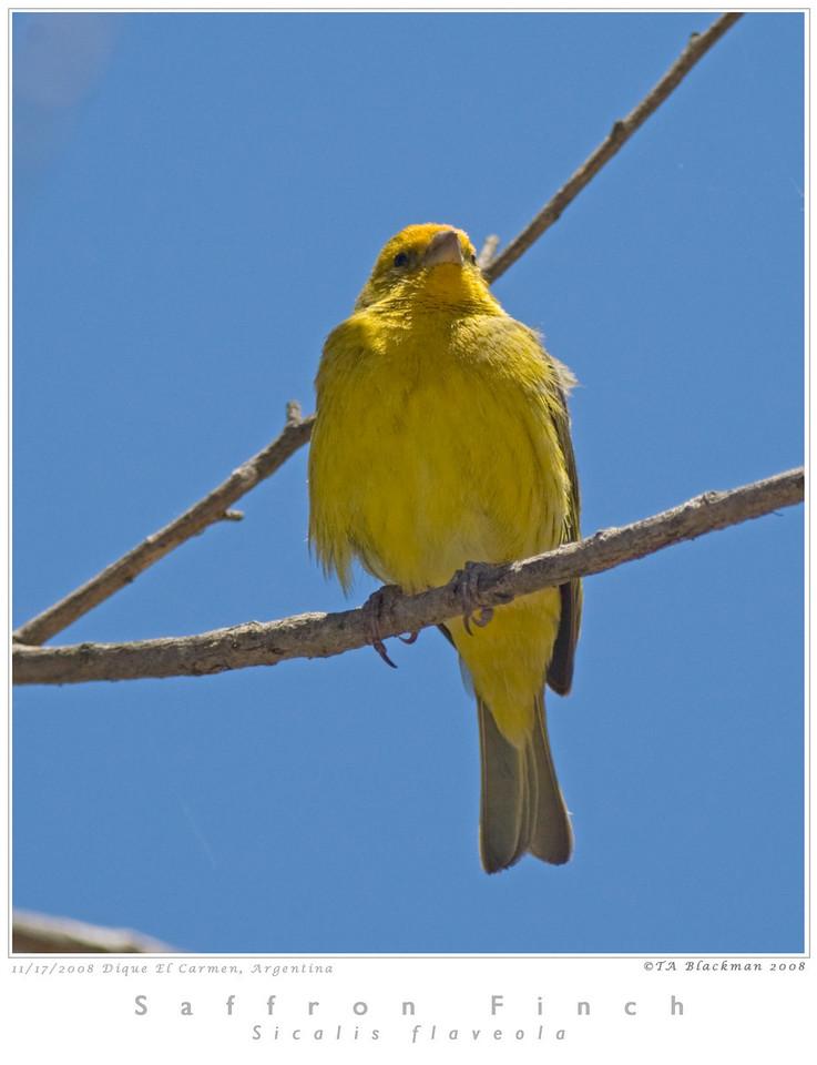 Finch_Saffron TAB08MK3-16337