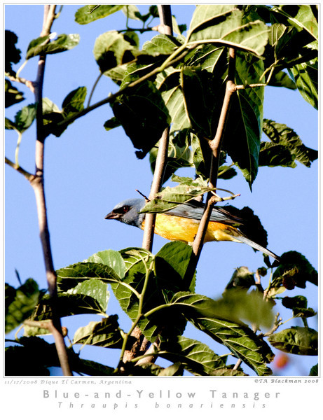 Tanager_Blue-and-Yellow TAB08MK3-16095 copy