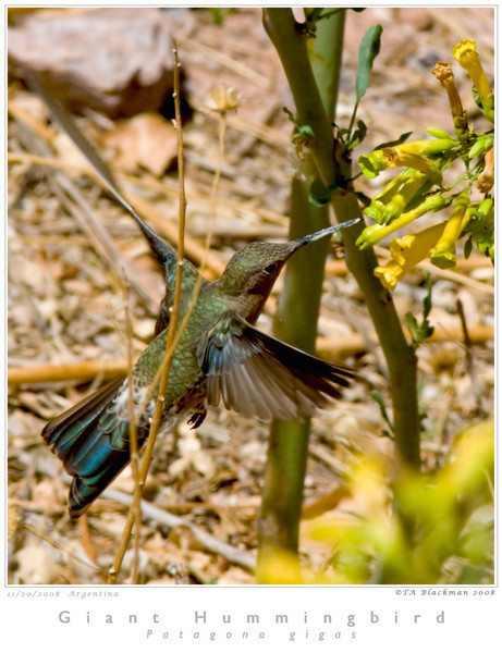 Hummingbird_Giant TAB08MK3-17020