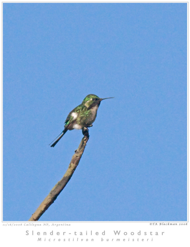 Woodstar_Slender-tailed TAB08MK3-16402