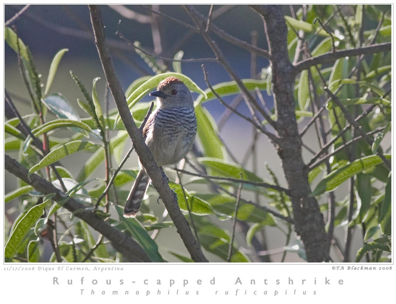 Antshrike_Rufous-capped TAB08MK3-16108