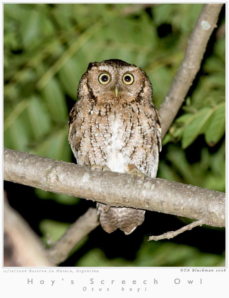 Screech-Owl_Hoy's TAB08MK3-16081
