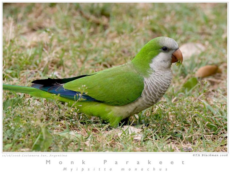 Parakeet_Monk TAB08MK3-15859