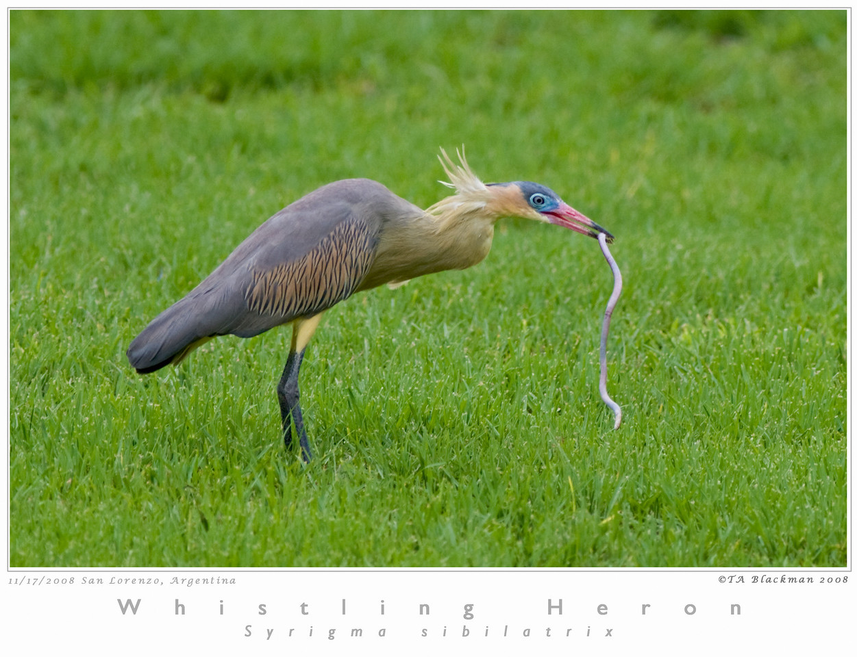 Heron_Whistling TAB08MK3-16041