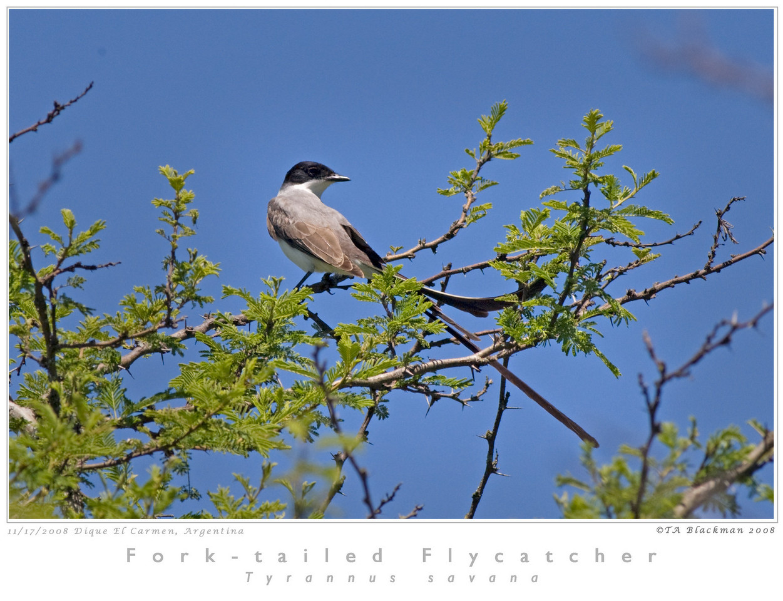 Flycatcher_Fork-tailed TAB08MK3-16329