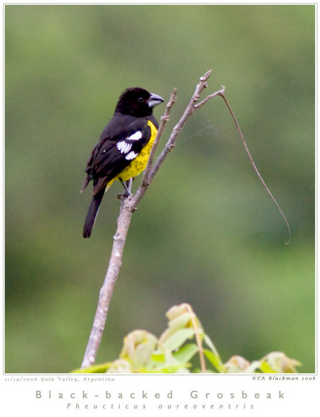 Grosbeak_Black-backed TAB08MK3-16714