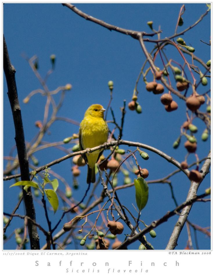 Finch_Saffron TAB08MK3-16275