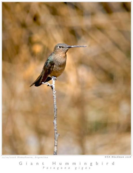 Hummingbird_Giant TAB08MK3-16922