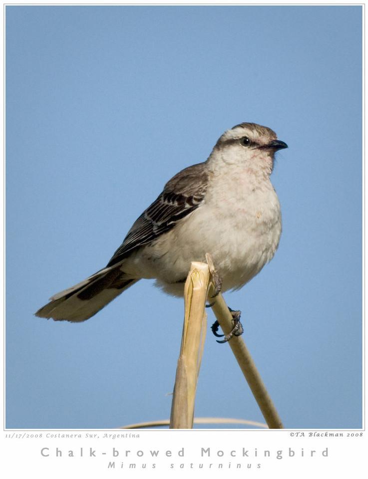 Mockingbird_Chalk-browed TAB08MK3-16012