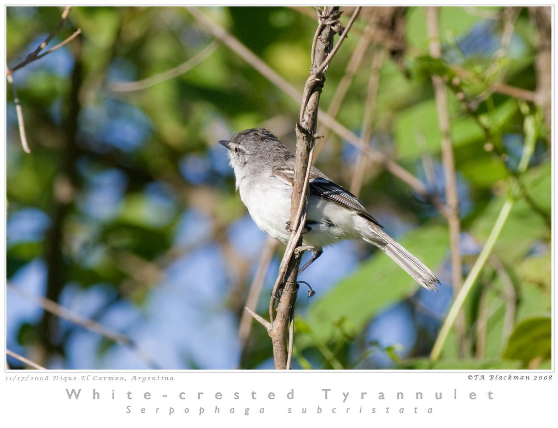 Tyrannulet_White-crested TAB08MK3-16118